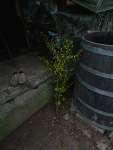 Experiment Živý domek ze stromů - mirabelka u sudu