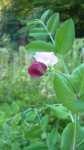 Květ hrachu cukrového, srpen 2008, Brno Soběšice
