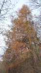 Zežloutlý modřín, Larix, listopad 2008, Brno Soběšice