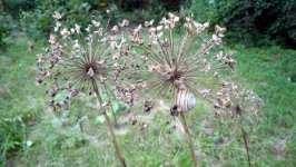 Allium giganteum, Česnek obrovský, odkvetlý, srpen 2008, Brno Soběšice
