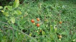 Zrající divoká rajčata, září 2008, Brno Soběšice