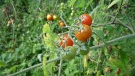 Zrající divoká bio rajčata, září 2008, Brno Soběšice