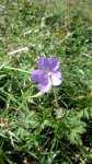 Geranium himalayense, Kakost himalájský, květ, srpen 2008, Brno Soběšice