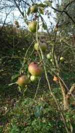 Jablka na stromě, listopad 2008, Brno Soběšice