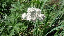Achillea millefolium, Řebříček obecný, květ, srpen 2008, Brno Soběšice