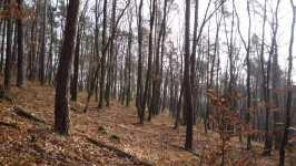 Borový-dubový-habrový les nad zahradou, listopad 2008, Brno Soběšice