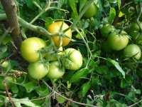 Zelená bio rajčata, září 2008, Brno Soběšice