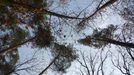 Borovice, pohled vzhůru, listopad 2008, Brno Soběšice