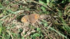 Zraněný hnědý motýl, srpen 2008, Brno Soběšice