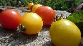 Žlutá a červená keříčková rajčata, srpen 2008, Brno Soběšice