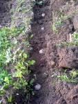 Arran Victory, stará skotská odrůda brambor, naklíčené