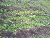 Alternativní pěstování brambor