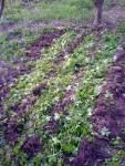 Pěstování brambor v mulči