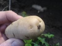 Bamberské rohlíčky - Bamberger Hoernchen, stará německá odrůda brambor, naklíčené