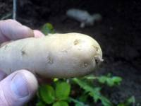 Bamberské rohlíčky - Bamberger Hoernchen, stará krajová odrůda brambor, naklíčené