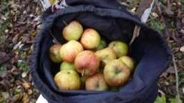 Žíhaná jablka v batohu, listopad 2008, Brno Soběšice