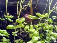 Semenáčky bazalky a cizrny