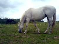 Bělouš, bílý kůň na ranči v Brně Soběšicích