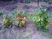 Bonsai: Habr, Carpinus (Hornbeam) a Javor, Acer (Maple)