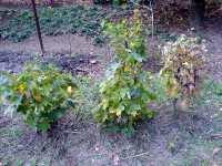 Bonsai: Javor, Acer (Maple) a Dub, Quercus (Oak)