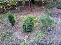 Bonsai: Jalovec, Juniperus (Juniper), Borovice, Pinus (Pine)