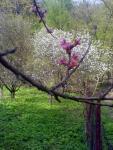 Květ broskvoně