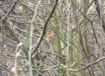 Červenka obecná, Erithacus rubecula, Robin, listopad 2008, Brno Soběšice