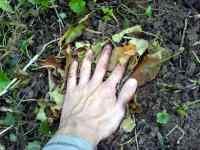 Ruka zahradníka mulč podzim setba dřínu