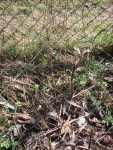 Cornus dřín sazenice do živého plotu