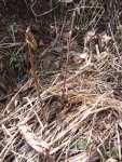 Cornus dřín sazenice do živého plotu (stareodrudy.org)