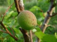 Zelená meruňka zblízka i s chloupkama, květen 2009
