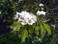 Květ hrušky