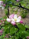 Květy jabloně 1. května 2008