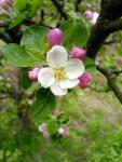 Květy jabloně na prvního Máje, 2008
