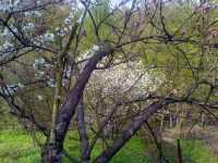 Květy ovocných stromů