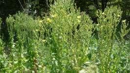 Odkvetlé květy salátu, 2008