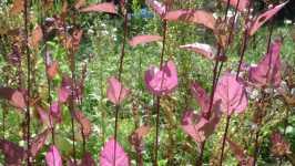 Červená lebeda zahradní, 2008
