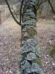 Lišejník na stromě, višeň
