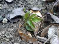 Mladá Bršlice kozí noha (Aegopodium podagraria)
