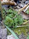 Mladá kopřiva v únoru (Urtica dioica)