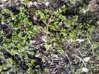 Mladé rostliny bršlice kozí noha a kopřiva dvoudomá