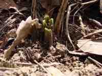 Okousané výhonky křenu selského Armoracia rusticana