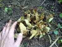 Suché listí z jabloně