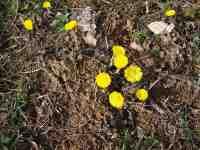 Podběl žlutý květ yellow bloom