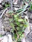 Rašící kopřivy (Urtica dioica)