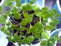 Rukola (Rucola Selvatica), semenáčky