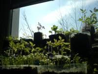 Visuté zahrady semenáčkoviny semenáčky sadba
