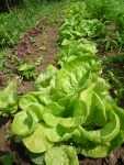Bio saláty a lebeda červená, začátek června 2008