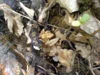 Mladý skokan (hnědý?)