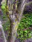 Vrba obráží z kmene